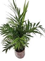 Chamaedora Plant